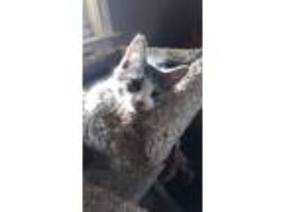 Adopt Devin a Gray or Blue (Mostly) Domestic Shorthair (short coat) cat in Glen