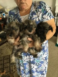 Schnauzer (Miniature) PUPPY FOR SALE ADN-101072 - Miniature Schnauzer