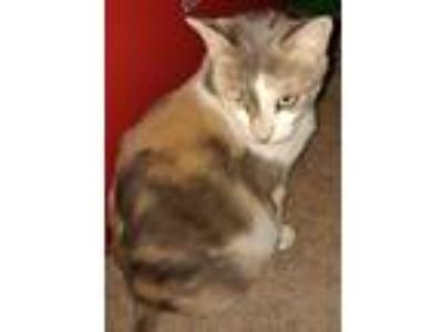 Adopt Alice a Domestic Short Hair, Calico