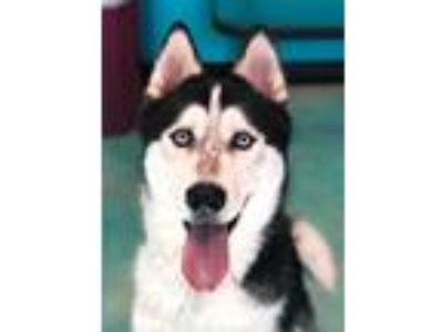 Adopt Ice a Black - with White Siberian Husky / Mixed dog in Guthrie
