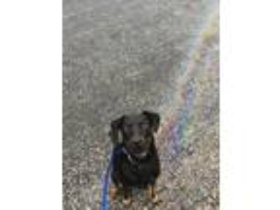 Adopt Cosmo a Black - with Tan, Yellow or Fawn Labrador Retriever / Mixed dog in
