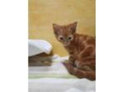 Adopt Pedro a Orange or Red Domestic Shorthair / Domestic Shorthair / Mixed