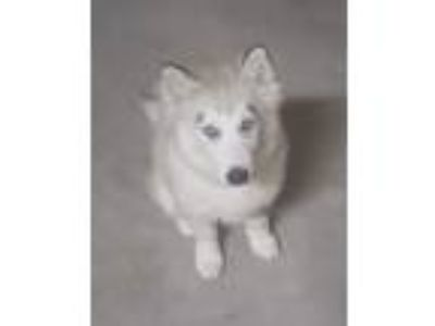 Adopt Gray a White Husky dog in Victorville, CA (25740561)