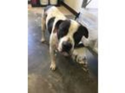 Adopt Catarin a Pit Bull Terrier