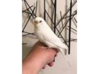 Adopt Pearl a White Parakeet - Other bird in Issaquah, WA (25593778)