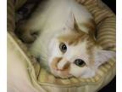 Adopt Gabriel a Orange or Red (Mostly) Domestic Shorthair (short coat) cat in