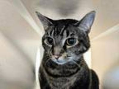 Adopt CHLOE a Brown Tabby Domestic Shorthair / Mixed (short coat) cat in Tacoma