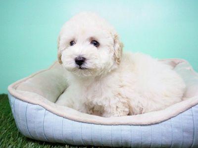 Golden doodle Puppy- Male- Durant ($1,299)
