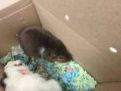 Adopt COCO PUFF a Brown or Chocolate Guinea Pig / Mixed small animal in