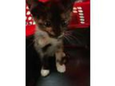 Adopt Calioco a Orange or Red Domestic Shorthair / Domestic Shorthair / Mixed