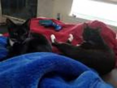 Adopt Hunter and Titan a Black & White or Tuxedo Domestic Shorthair / Mixed cat