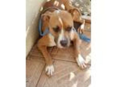 Adopt Sophia a White - with Tan, Yellow or Fawn Staffordshire Bull Terrier /