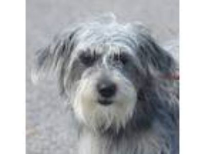 Adopt Bonnie a Schnauzer, Wirehaired Terrier