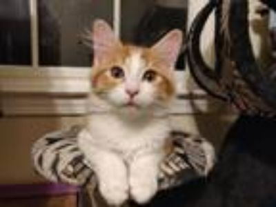 Adopt Enzo a Orange or Red Domestic Mediumhair (medium coat) cat in Atlanta