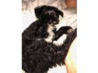 Adopt Oreo a Poodle, Yorkshire Terrier