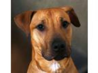 Adopt Dixon a Pit Bull Terrier, Mixed Breed