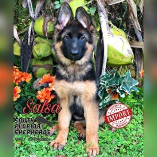 German Shepherd Dog PUPPY FOR SALE ADN-107735 - Imported Long Coat German Shepherd puppy