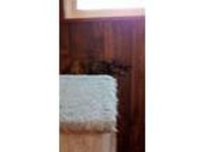 Adopt Jack & Roxie A Tux & Torti Brother & Sister Pair a Domestic Short Hair