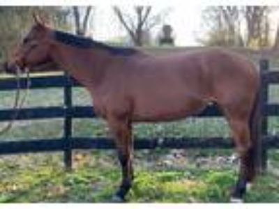 152 Hd Stunning Quarter Horse MareBeginner Friendly Pleasure Mount