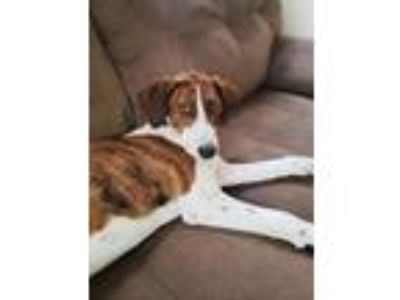 Adopt Rhodes a Brown/Chocolate - with White Plott Hound / Hound (Unknown Type) /