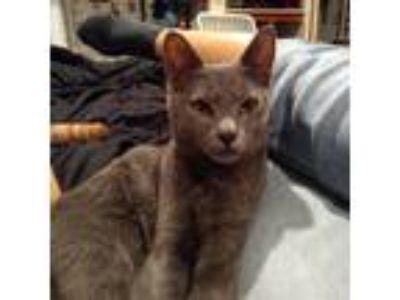 Adopt Indigo a Gray or Blue American Shorthair cat in Garland, TX (24784410)