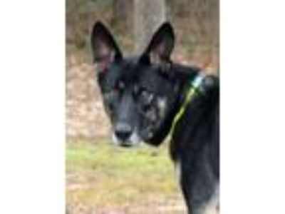 Adopt Zoey a German Shepherd Dog