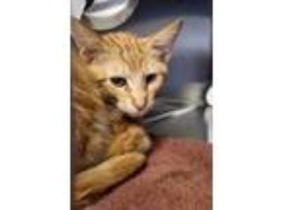 Adopt Chuck a Orange or Red Domestic Shorthair / Mixed cat in Sanford