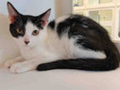 Adopt QUENTIN a White (Mostly) Domestic Shorthair / Mixed (short coat) cat in