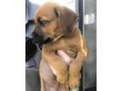 Adopt RINGO a Brown/Chocolate - with White Labrador Retriever / Mixed dog in San