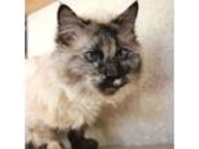 Adopt Lilith a Maine Coon