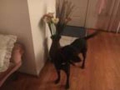 Adopt Mindy a Black Labrador Retriever / Collie dog in Tampa, FL (25020541)