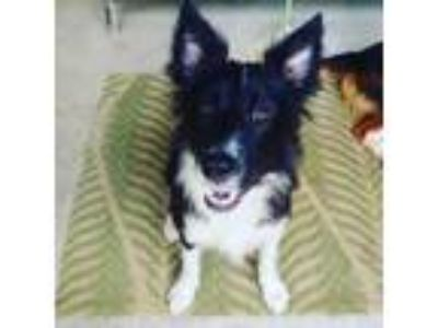 Adopt Reginald a Border Collie