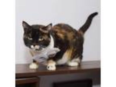 Adopt Gracie a Calico or Dilute Calico Domestic Shorthair / Mixed (short coat)