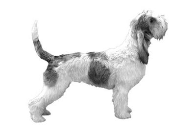 Grand Basset Griffon Vendeen Puppies