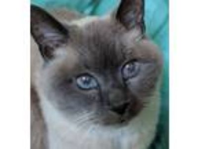 Adopt Amethyst a Siamese, Snowshoe