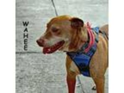 Adopt Wahee a Tan/Yellow/Fawn American Pit Bull Terrier / Mixed dog in