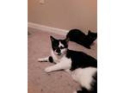Adopt Chance a Black & White or Tuxedo American Shorthair cat in Atoka
