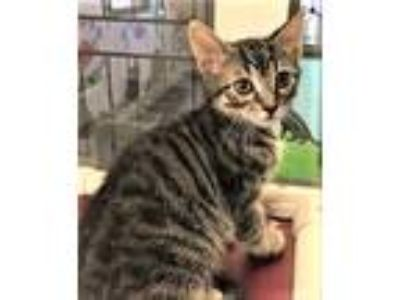 Adopt Kitten Tiger a Brown Tabby Domestic Shorthair / Mixed (short coat) cat in
