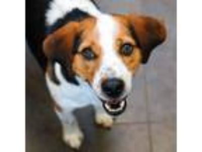 Adopt Roy a Beagle / Mixed dog in Des Moines, IA (25320133)