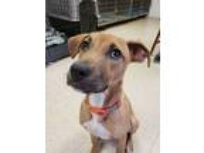Adopt Cassy a Red/Golden/Orange/Chestnut - with White Labrador Retriever / Mixed