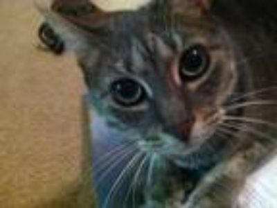 Adopt Puma a Gray, Blue or Silver Tabby American Shorthair / Mixed cat in