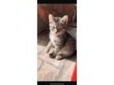 Adopt Noodle a Gray, Blue or Silver Tabby American Shorthair cat in Arlington