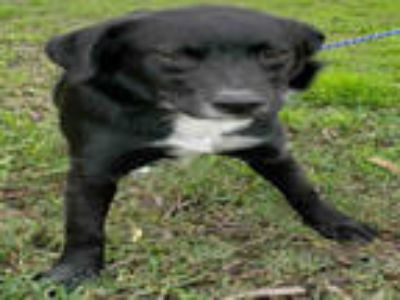 Adopt LIZZIE a Black - with White Labrador Retriever / Mixed dog in Rosenberg