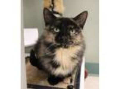 Adopt Kaz a Domestic Short Hair, Tortoiseshell