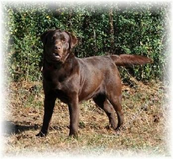 AKC CHOCOLATE LABRADOR RETRIEVER PUPPIES