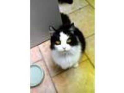Adopt Canary a Domestic Long Hair
