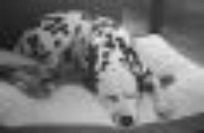 Ariat Dalmatian Dog