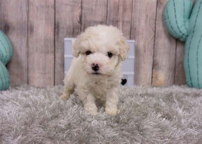 Noah the Maltipoo