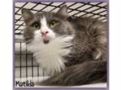 Adopt Matilda a Domestic Medium Hair