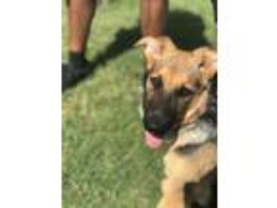 Adopt Naira a Black - with Tan, Yellow or Fawn German Shepherd Dog / Mixed dog